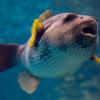 Nuevos peces - Arothron Hispidus