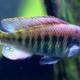 Científicos descubren un pez en pleno acto de evolución