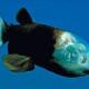 El pez de cabeza transparente.