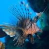 Peces León invaden las frágiles aguas del Caribe