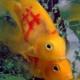 En China, tatúan peces de colores para incrementar su valor