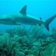 Tiburones visitan a peces para que los limpien
