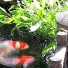Abundancia y Riqueza a través de los Peces Feng Shui