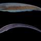 Descubren nueva especie de pez eléctrico en Guyana